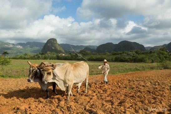 Plowing fields, Viñales, Cuba.