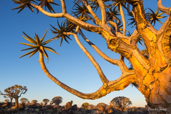 Last light on Quiver Trees, Namibia.