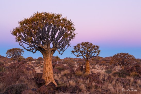 Dusk over the Quiver Tree Forest.