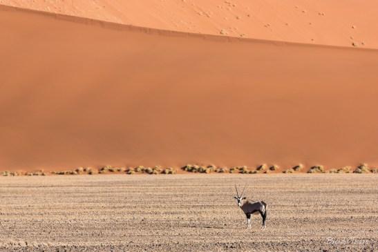 Gemsbok standing beneath sand dunes.