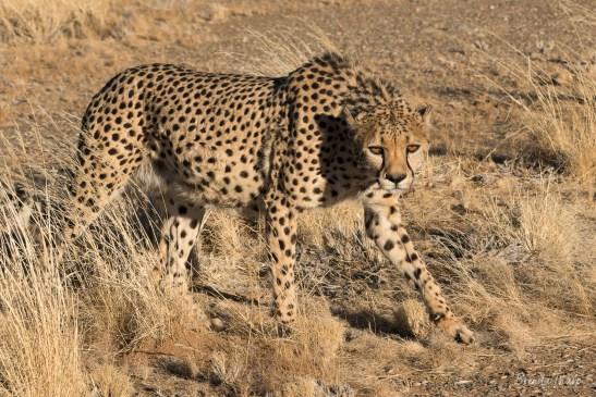 Cheetah walking in grassland.