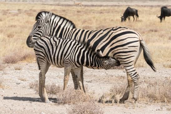 Zebra nursing her offspring, Namibia.