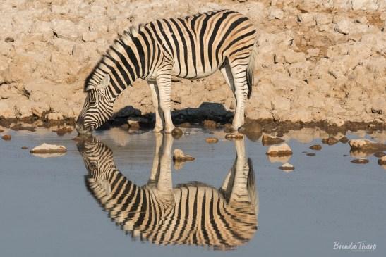 Burchell's zebra drinking at waterhole.