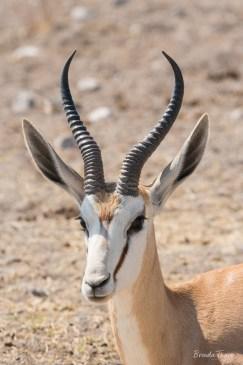 Portrait of Springbok Face, Namibia.