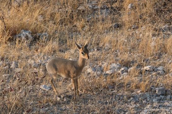 Damara Dik Dik, Namibia