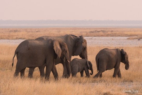 Elephants near the Etosha Pan, Namibia