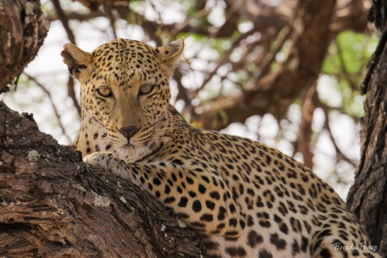A wild leopard resting in tree, Namibia, Africa.