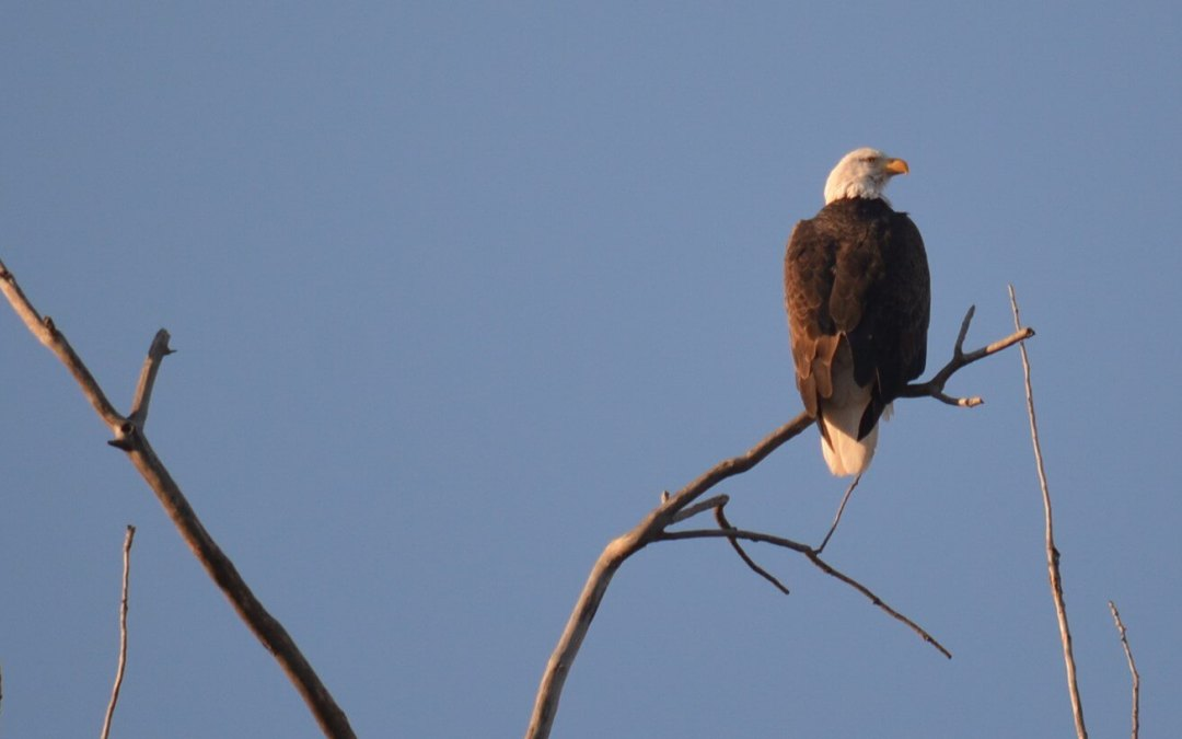 Eagle Days programs in Missouri, Kansas offer opportunities to view birds of prey