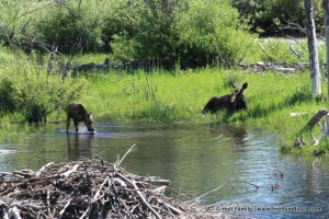 Mother and baby moose at Grand Teton National Park