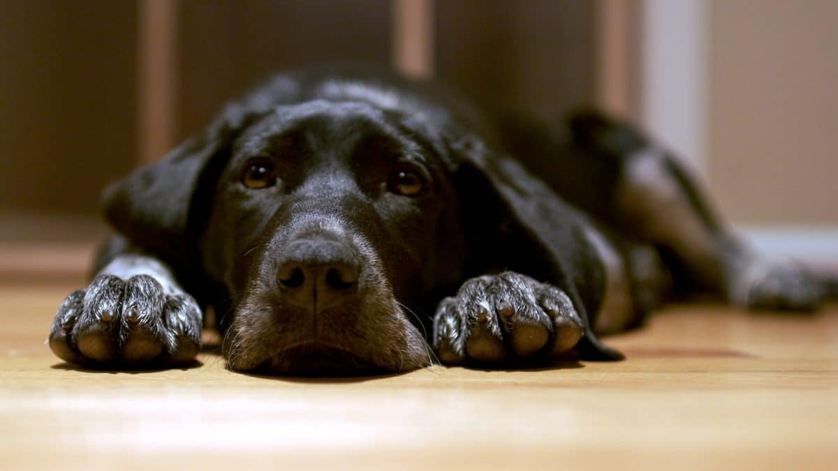 black_dog_lying_on_the_floor-e1494839181601