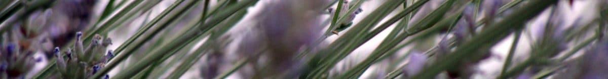 cropped-7-lavanda-1.jpg