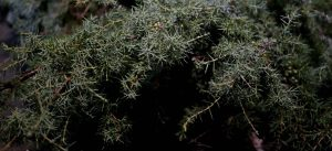 Juniper branches for brewing Nordic farmhouse ale