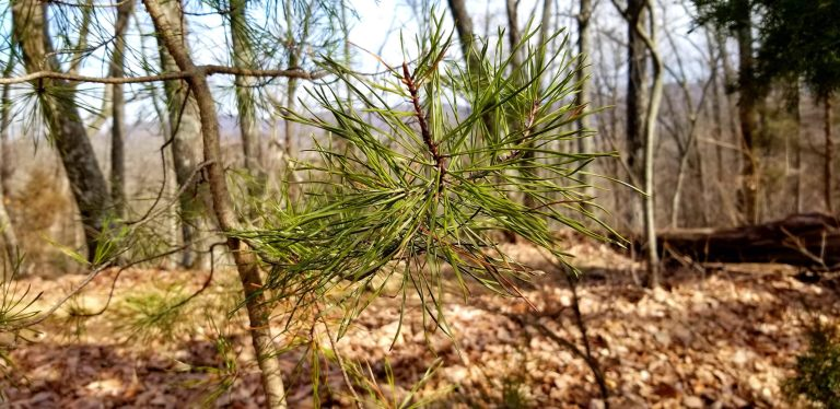 Pine branches for brewing beer