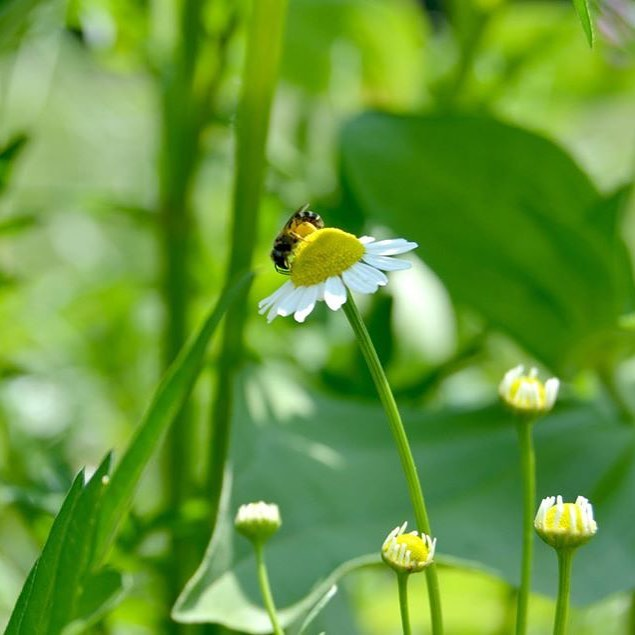Little bee is enjoying Some chamomile chamomile bee sunnyday summerdayscountrylifehellip