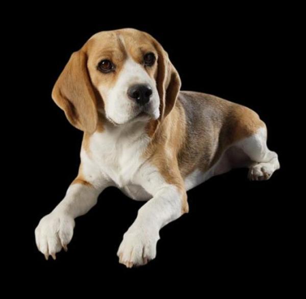 Brialey Beagles