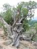 Wind twisted Tree