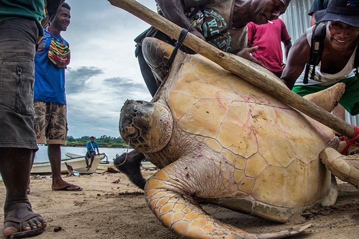 Landin a turtle - Manus Island Papu New Guinea - pic by Brian Cassey