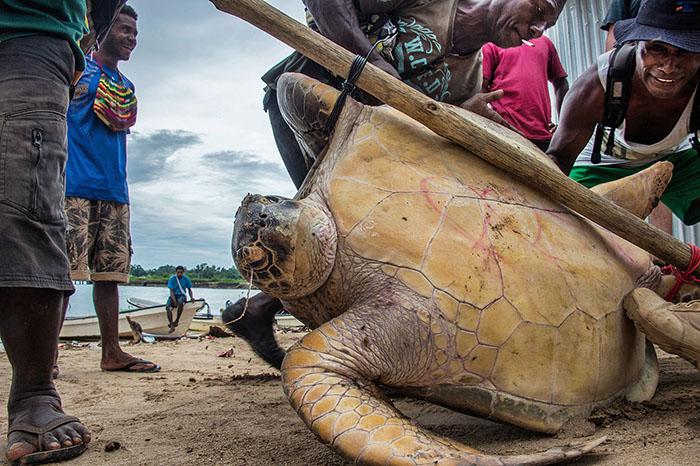 10th International Color Awards - Finalist - Photojournalism & Wildlife - 'Turtle Manus Island' by Brian Cassey