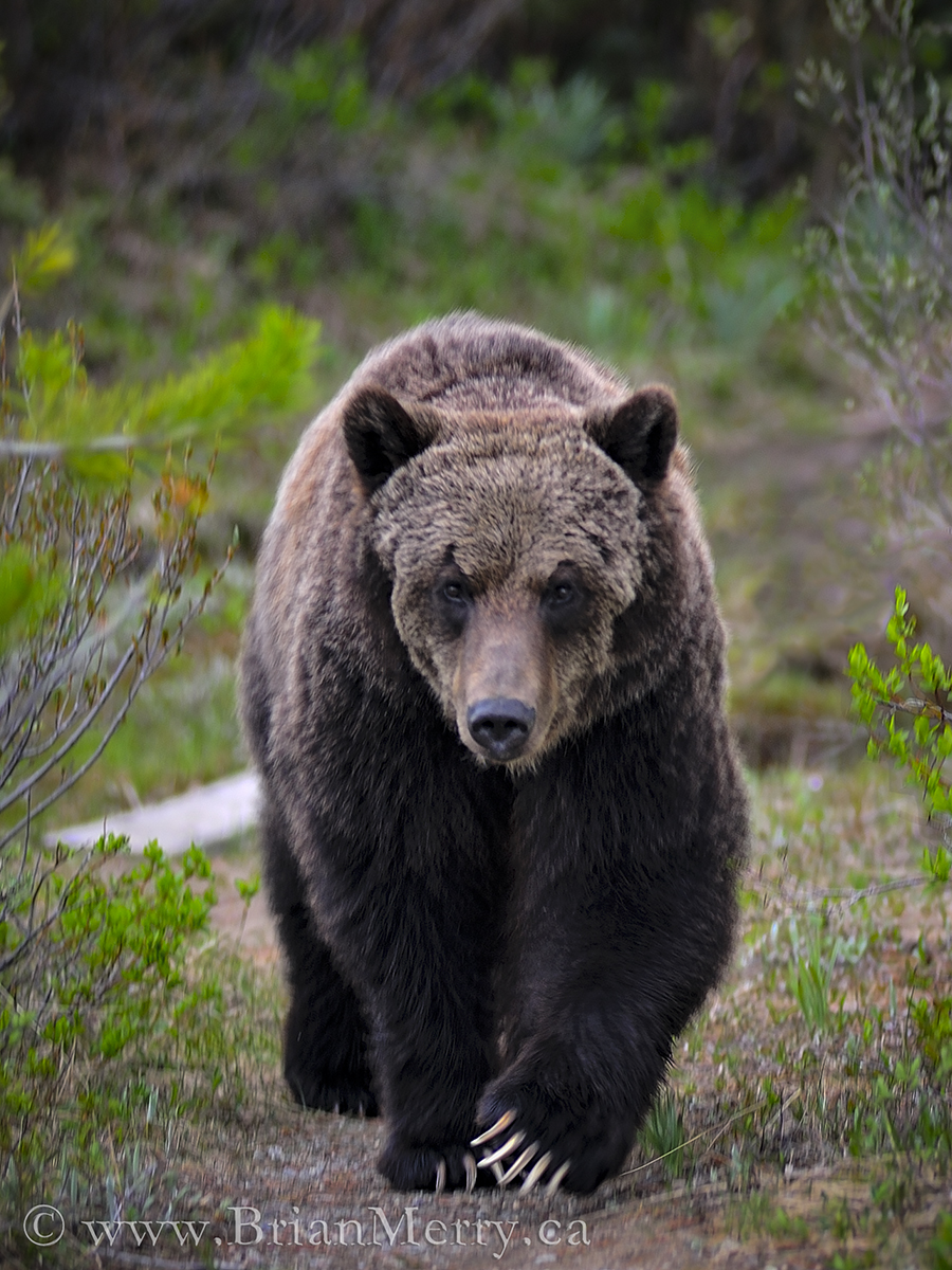 How I Convinced Two Advancing Adult Grizzly Bears to Stand Down