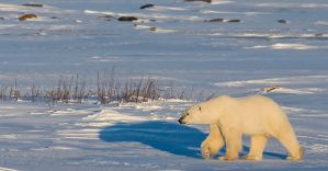 Polar Bear at Sunset © www.brianmerry.ca