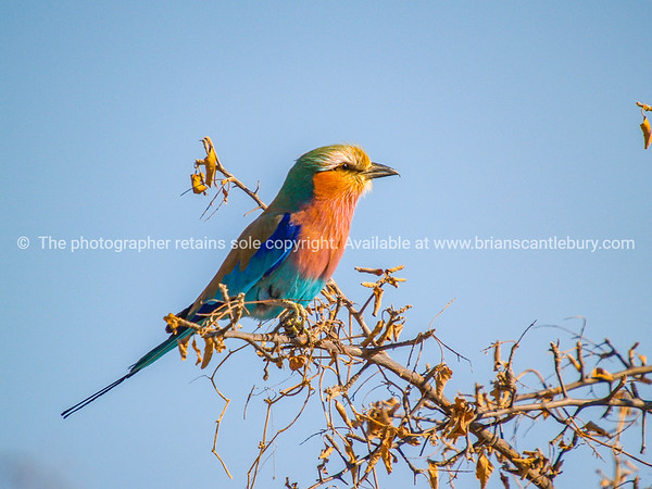 Lilacbreasted Roller, Africa.
