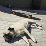Long sesh! pug pugs skateboard skateboarder skateboarding miniramp ramp