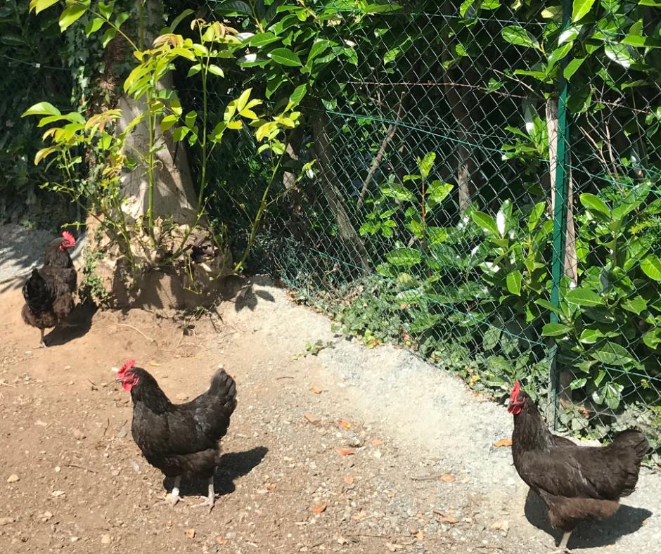 Un potager et des poules à l'école Vincent Rotinat