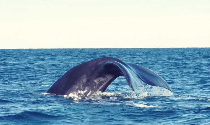 A whale begins to dive off the coast of Puerto Madryn