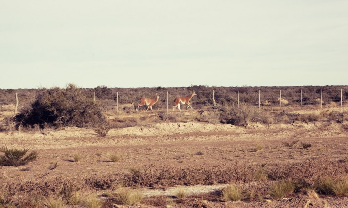 Chasing some guanacos near Puerto Madryn