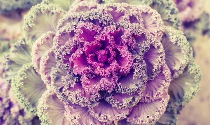 Purple fractal cabbage plant