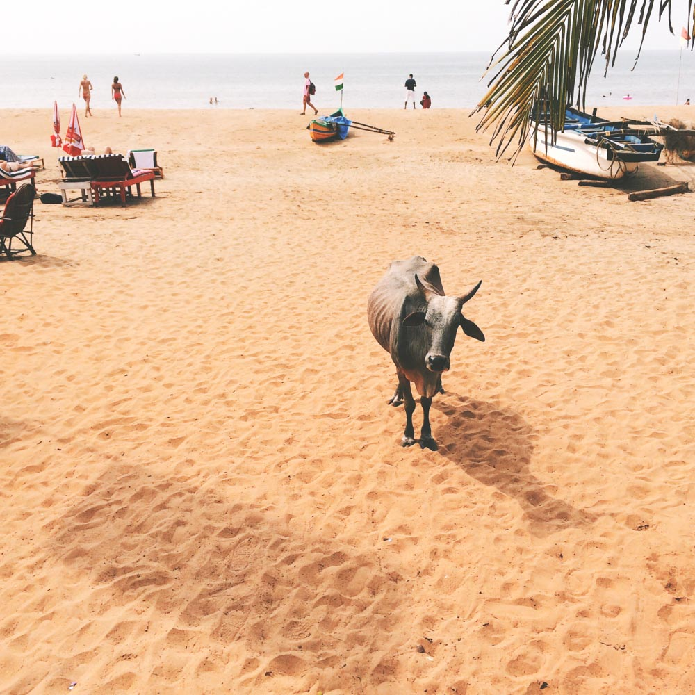 Cow on Patnem beach