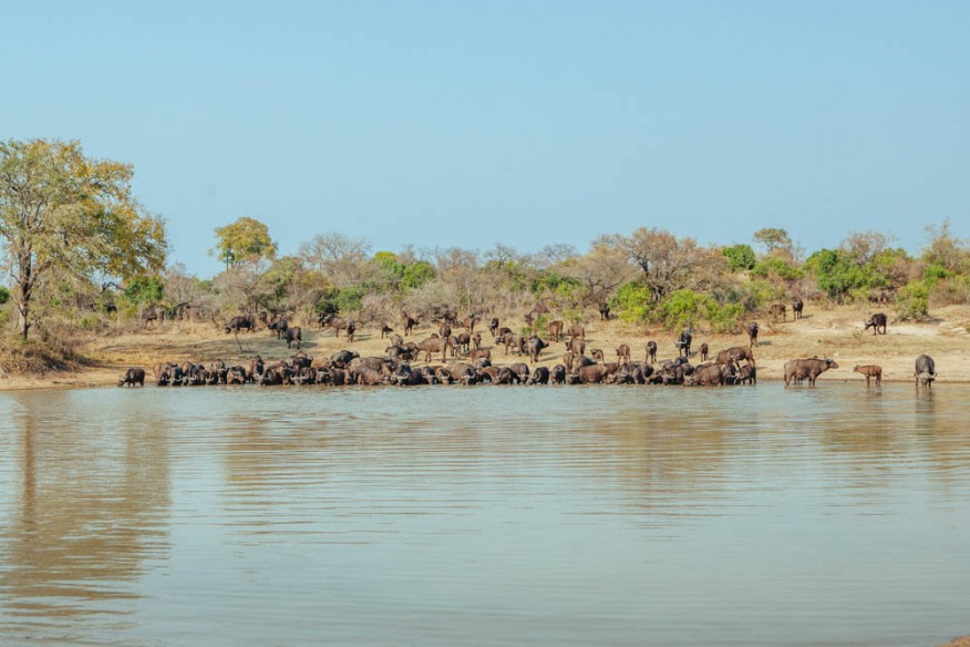 Herd of buffalo in Timbavati Game Reserve, South Africa