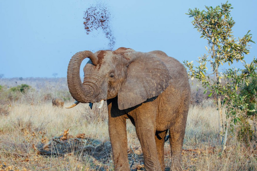 Elephant cooling down with dirt in Kruger, South Africa