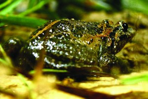 Israel painted frog female specimen that was found on 15 November 2011 at Lake Hula/ Mickey Samuni-Blank
