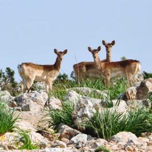 shmuel-browns-deer-dsc_0041_sq