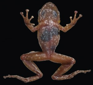 Frog_Pristimantis imthurni. Ventral view of the male holotype specimen
