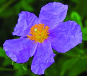 Rockrose, Cistus incanus, in nature