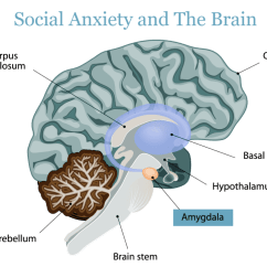 The Anatomy Of Anxiety Diagram 2005 Dodge Ram Stereo Wiring Causes Social Bridges To Recovery Disorder And Brain