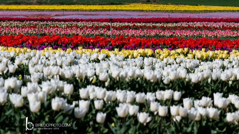 Les tulipes Hollandaise - Alpes de Hautes-Provence