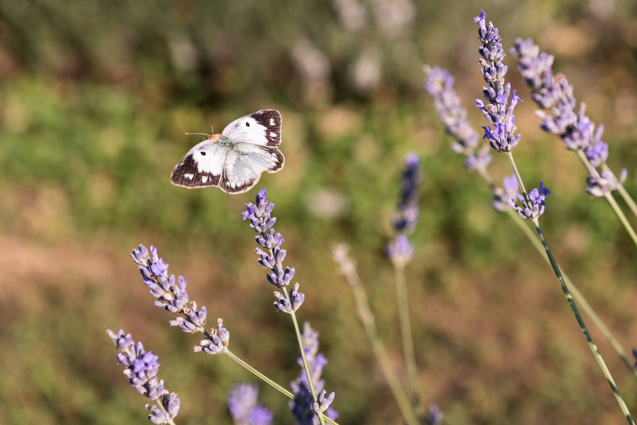 Of Flowers and Bees, Butterflies and Dreams: Il Lavandeto di Assisi ...