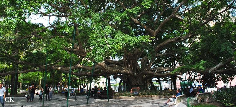 figueira centenária - Praça XV de Novembro, Florianópolis