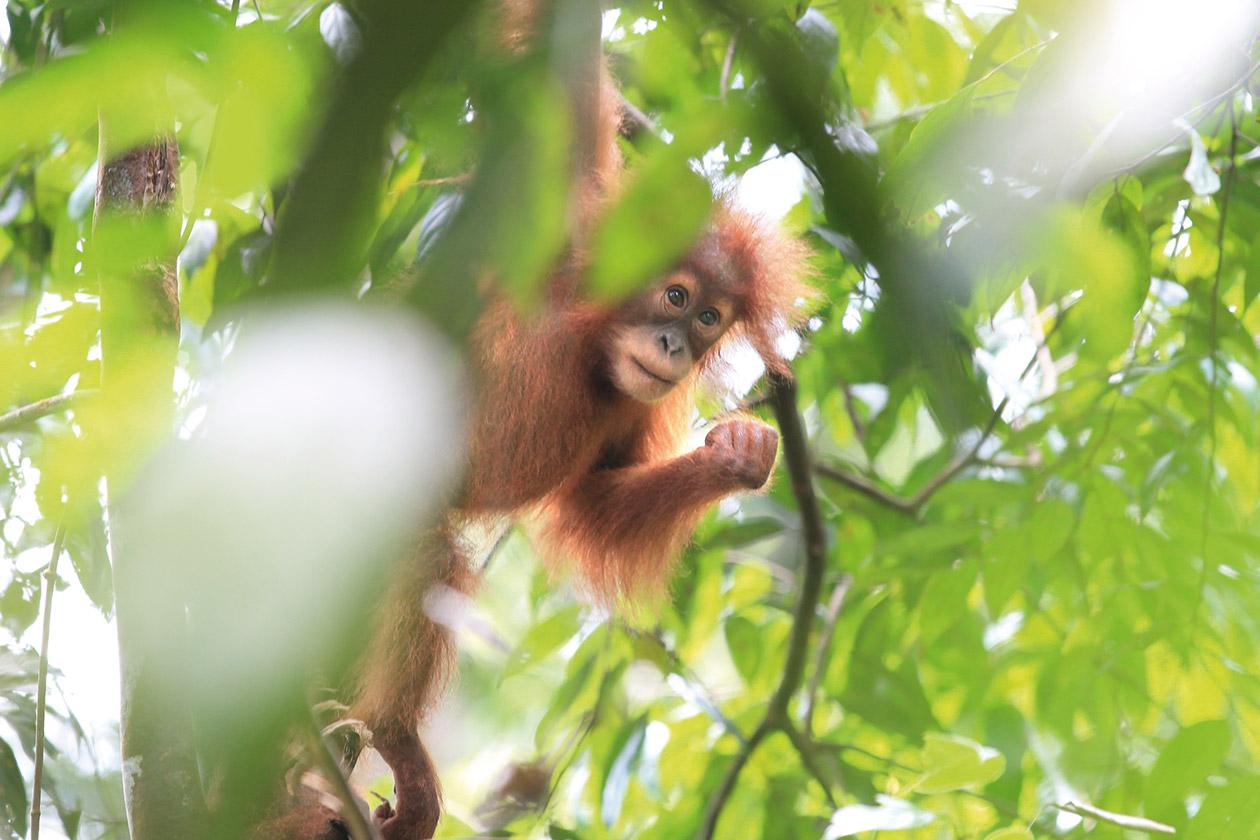 Foto von HEILANDT orang utan