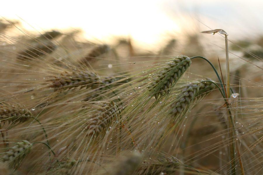 Horcher Mühle Nahaufnahmen Weizen Feld Bild von unsplash.com