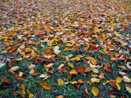 fall leaf removal - Get Those Leaves Off of Your Lawn; Here's How to Do Easy Leaf Removal This Fall