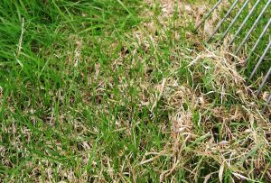 lawnthatchclose 300x203 - Do You Want a Healthy Lawn? Then Dethatch It
