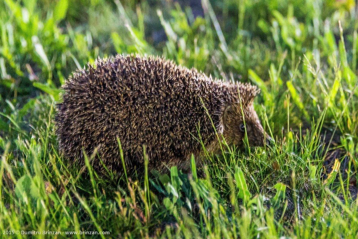 Purcari Estate - A Hedgehog out Hunting