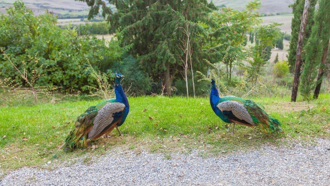 2016-podere-il-casale-pienza-23-peacocks