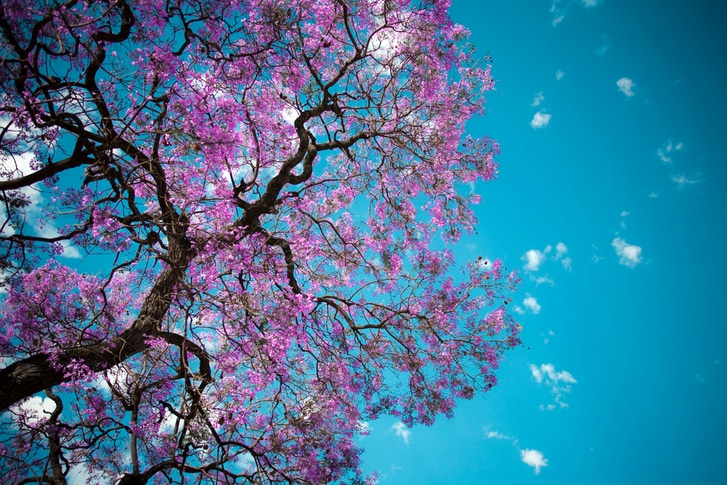 Jacarandas in Brisbane  When  where to find them this