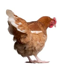 chicken-white-background