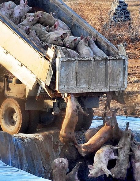 Buried Alive: South Korea's Animal Culls   Saving Earth   Encyclopedia  Britannica